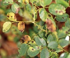 Roses: common diseases: Black spot. This disease looks like it sounds -- unsightly spots on the foliage. Prevent this disease with a garden fungicide labeled for use on roses during periods of cool, wet weather. Don't plant your roses too closely together and make sure they're in full sun. Avoid watering with a sprinkler -- wet foliage encourages disease.
