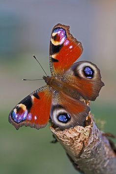Peacock (Inachis io) | Flickr – Compartilhamento de fotos!