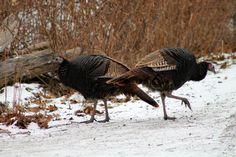 Wild Turkey (Meleagris gallopavo) Wild Turkeys at Lynde Shores Conservation Area, Whitby, Ontario.