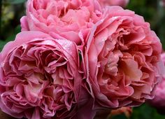 ~Rose Boscobel