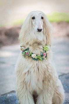 best images, photos and pictures ideas about afghan hound dog - oldest dog breeds
