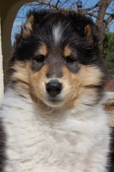 Chelsea Collies ....... Breeder of Quality Rough Collie Champions ...