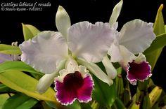 Cattleya labiata f. rosada - Flickr - Photo Sharing!