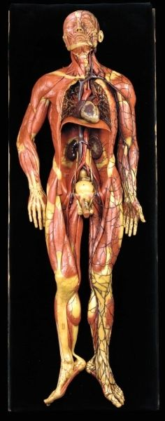 Wax Superficial muscles of the chest and abdomen G. Zeiller (ca. 1880)