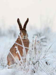 Winter Wonderland -  Europeian hare  (Lepus europaeus) - by xBajnox