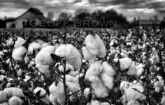 Cotton, 8x12 original signed fine art photographic print