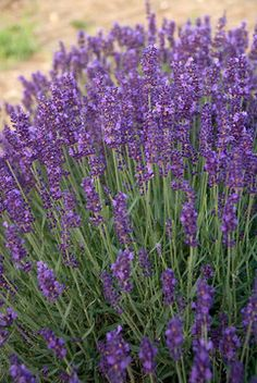 "Lavandula Hidcote Superior.   Height: Medium 20"" / Plant 20"" apart.  Bloom Time: Late Spring to Summer  Sun-Shade: Full Sun  Zones: 5-9     Soil Condition: Normal, Sandy"