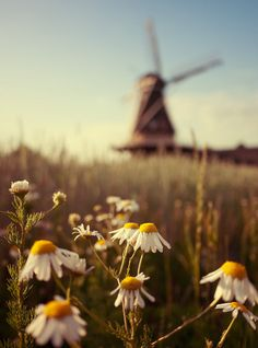 reminds me of my aunt - she loved Windmills and flowers