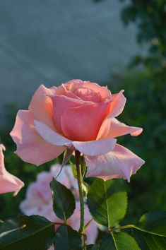 Rose in the backyard by Huming Wu on 500px