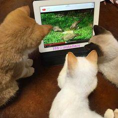 釘付け。  #instadaily #instadiary #instacat #instacats #instagood #instaphoto #cute #cat #catstagram #crazyabout #animation #youtube #instapet #pet #ペット #ユーチューブ #猫 #愛猫 #釘付け #夢中 #かわいい #癒し #小さな猫が大きな癒しにニャる #猫好き