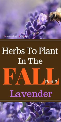 Herbs To Plant In The Fall Lavender, it is a very versatile herb with an extensive list of health benefits that every herb garden should have.