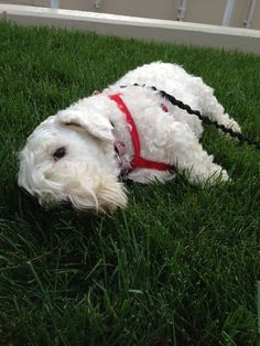 Elvis relaxing on the cool grass...awww #sealyhamterrier