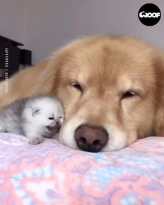 Sweet kitten and gentle dog Cute Little Animals, Cute Funny Animals, Funny Dogs, Cute Cats, Funny Puppies, Kittens And Puppies, Cute Dogs And Puppies, Cute Baby Dogs, Baby Cats