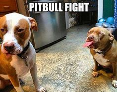 Pitbull fight...