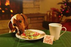 Dachshund are tricky! I have a min blk/tan doxie that will even drink my Slim Fast! (Mine will eat/drink a n y t h i n g! Dachshund Funny, Dachshund Love, Funny Dogs, Funny Animals, Cute Animals, Daschund, Dachshund Rescue, Dachshund Gifts, Dachshund Puppies