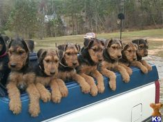 SRSLY. Airedale Puppies!
