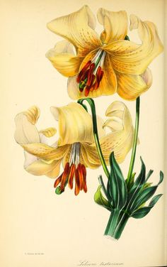 Day Lily  --  1843