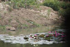 Lotus Along The Lake