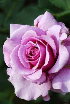 Rosa Secret Perfume