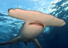 Hammerhead sharks have disproportionately small mouths.