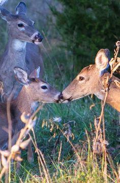 Mom's kiss. Deer at Innsbrook.