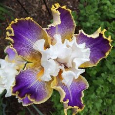Photo of Tall Bearded Iris (Iris 'Wild Angel') uploaded by Njiris