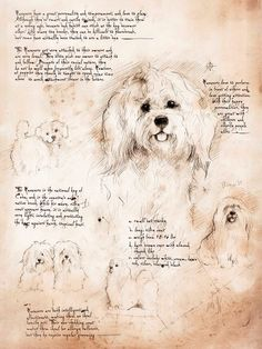 Havanese Study -  Framed Giclee print on archival paper. From an original drawing in the style of Leonardo Da Vinci