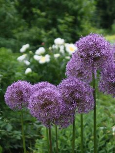 Allium macleanii 'Globemaster' (Blumenlauch)