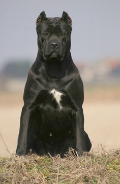 Another massive Cane Corso Cane Corso Mastiff, Chien Cane Corso, Cane Corso Dog Breed, Cane Corso Italian Mastiff, Mastiff Dogs, Huge Dogs, I Love Dogs, Bull Terriers, Cane Corsa