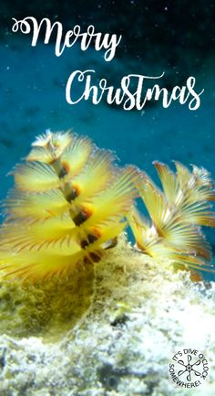 Merry Christmas everybody! Hope you have a wonderful time with family and friends or with a dive buddy searching for some Christmas tree worms underwater! :)  Marlies Dive o'clock http://www.diveoclock.com/ scuba diving | underwater | ocean | sea life | diving | coral reef |  dive the world | scuba diver | dive instructor | underwater photography | duiken | tauchen | under the sea | divemaster | open water | PADI advanced |