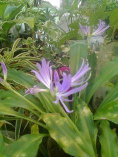 Sara said plantas e cactos  -  flores do meu jardem