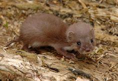 Mustela nivalis nivalis Linnaeus, 1766 - Common Weasel
