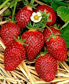 Strawberries 'Korona' (Fragaria x ananassa 'Korona'). An early variety with two special features: large fruit and excellent taste. The fruits are as large as eggs. The fruit yield is high. Strawberry Fruit, Strawberry Fields, Strawberry Patch, Fruit And Veg, Fruits And Vegetables, Fruit Photography, Beautiful Fruits, Delicious Fruit, Fruit Art