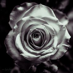*** by T Handy on Black Roses, White Flowers, Red Roses, Beautiful Flowers Images, Flower Images, Rose Wallpaper, Paintings, Wallpapers, Dark