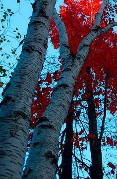 Red Birch, Onamia, Minnesota Copyright: Philip Steen