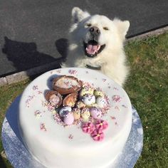 Looks like my cake got the seal of approval from pooch 👍💋 Simnel Cake, Gbbo, A Husky, Happy Dogs, Smiley, Like Me, Dog Lovers, Seal, Irish