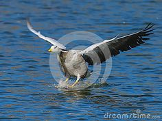 Bar-headed Goose - Download From Over 24 Million High Quality Stock Photos, Images, Vectors. Sign up for FREE today. Image: 41538281