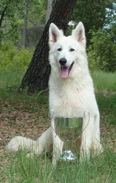berger blanc suisse dog photo | Trebons Kennel Berger Blanc Suisse - News