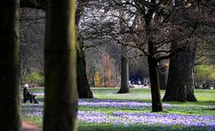 Hundreds of crocus bloom in Dusseldorf