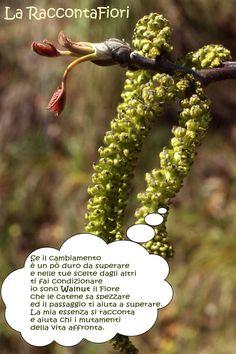 Walnut, Bach Flower Remedy
