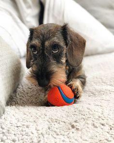 Allergies Funny, Dog Allergy To Corn Symptoms, - Puppy Treats Homemade, Hot Dog Muffins. Dapple Dachshund, Wire Haired Dachshund, Dachshund Puppies, Dachshund Love, Cute Puppies, Cute Dogs, Dogs And Puppies, Daschund, Dachshund Drawing