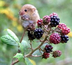 western harvest mouse blackberries - Google Search Nature Animals, Animals And Pets, Baby Animals, Funny Animals, Cute Animals, Hamsters, Rodents, Beautiful Creatures, Animals Beautiful