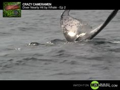Graeme, one of our cameramen, got the unique opportunity to film a humpback whale unreasonably close after ascending from a dive. The whale was acting oddly standing on its head with its tail near the surface, singing a whale song. Graeme decides to get in close to the tail and has he does he almost gets smacked in the head with it. Getting hit by a whale like this would be like getting hit by a bus. Fortunately Graeme is unharmed and captures some amazing footage.