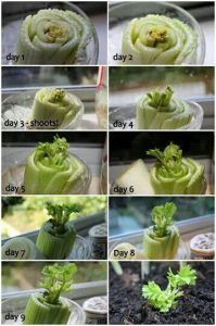 Grow your own celery from leftover stalk. Don& throw your celery stock away. Grow your own celery from leftover stalk. Don& throw your celery stock away, Grow more celery. Amazing, free, delicious and good for you. Organic of course. Growing Onions, Growing Veggies, Growing Plants, Growing Herbs Indoors, Growing Lettuce, Regrow Celery, Regrow Vegetables, Celery Plant, Veg Garden