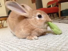 Sometimes bunny doesn't even bother to sit up for a meal - January 9, 2013