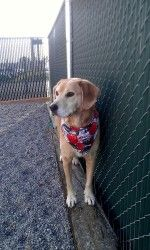 Summer is a yellow Labrador Retriever.  She does good with other dogs.  Summer is around 7 years old.  She is very kind and sweet.  http://www.petfinder.com/petdetail/24744238