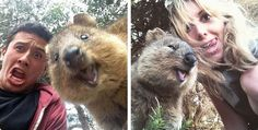 Quokka is an adorable cat-sized marsupial found in Australia, and just might be the happiest as well as most photogenic animal in the world! If you haven't taken a #QuokkaSelfie, you'll definitely want to after you see these photos …...