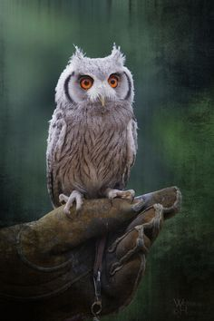Juvenile Southern White-faced Owl Wildpark Lüneburger Heide by Wolfgang Holtmeier