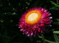 helichrysum bracteatum - Pesquisa Google