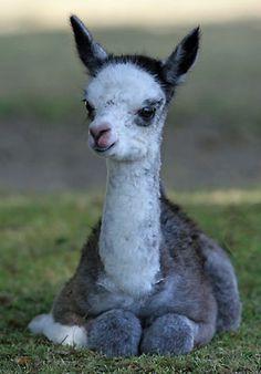 baby llama. i dont know why i love llamas so much...